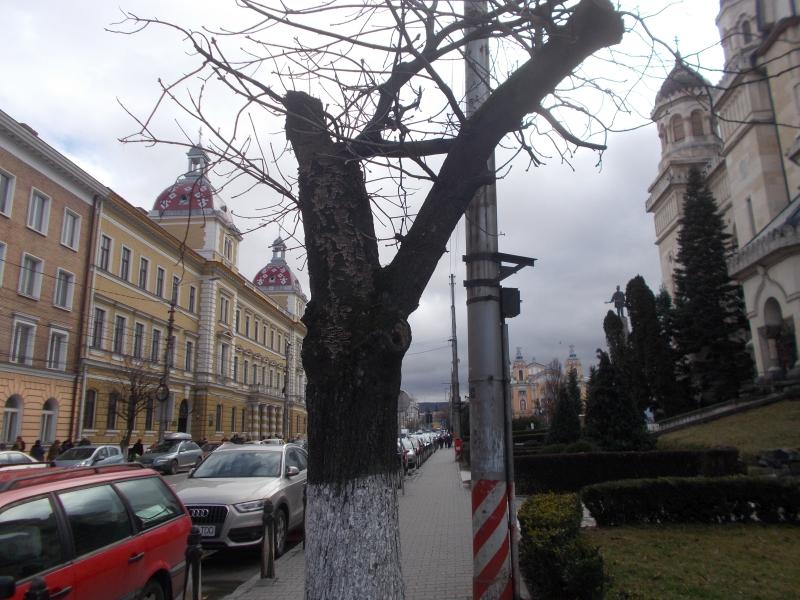 sursa foto: imagine furnizată de primarie, cu un castan de pe latura de unde au fost tăiați cei mai mulți arbori